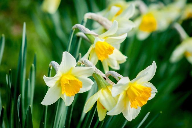 daffodil-1446420_1920 (1)